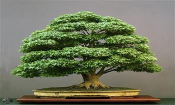 Lince: Precioso bonsái 3 modelos a elegir
