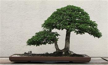 Precioso bonsai mamá e hijo  en una maceta 3 modelos a elegir